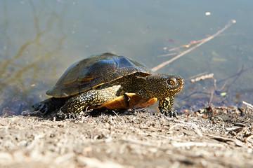 Swamp turtle