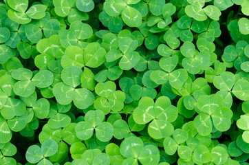 Carpet of green three-leaf clover cover a meadow
