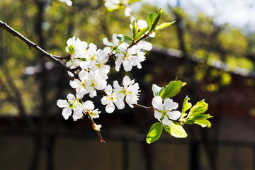 sprig of cherry blossoms in orchard