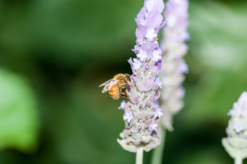 Bee on Lavender left side