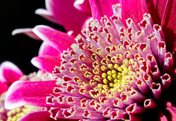 Close up image of dark pink chrysanthemum flower