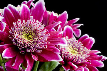 Close up image of dark pink chrysanthemum flowers on black