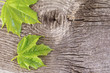 Green maples on wooden background