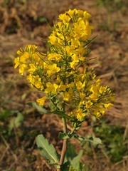Stalk of rape in the spring yellow field of blooming rapes