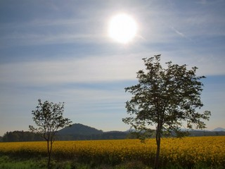Two trees, stalk of rape in the spring yellow field