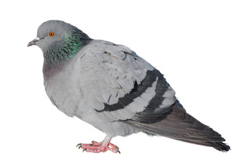 Feral Pigeon isolated on white.