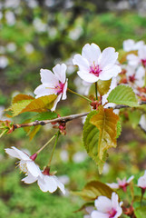 Branch of japanese sakura blossoms Prunus serrulata