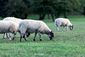 Flock of sheep on green grass