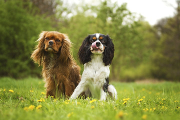 two sitting cavalier king charles spaniel puppy in spring  natur