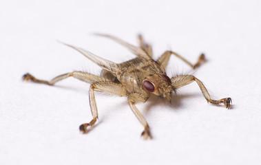 Hirschlausfliege Fliege Parasit