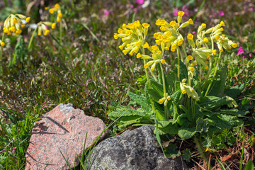Cowslip in a cultivated area