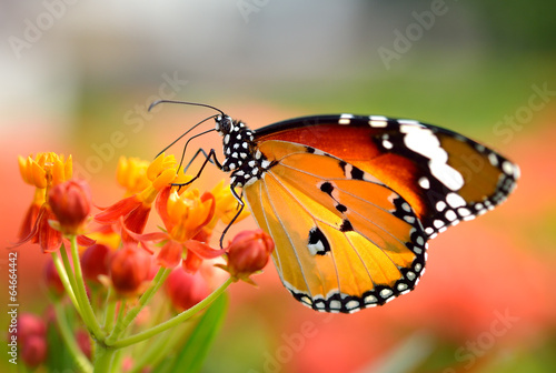 Fotobehang Vlinder Butterfly on orange flower in the garden