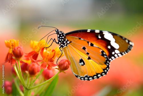 Butterfly on orange flower in the garden - 64664442