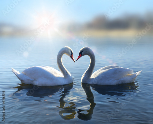 Tuinposter Zwaan Swans on blue lake water in sunny day
