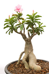 adenium obesum isolated background
