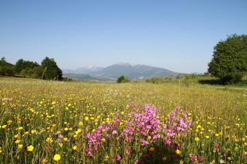 Yellow and pink flowers in the meadow in Sharr, Kosovo