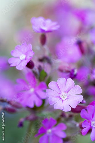canvas print picture Rote Lichtnelke (Silene dioica), Nahaufnahme