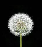 Dandelion flower - 64667600
