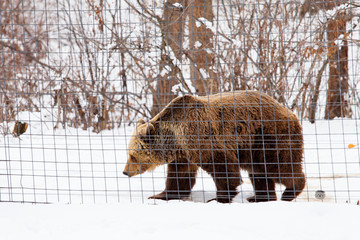 Sad brown bear behind bars in the forest