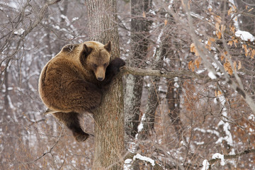 Brown bear in the tree looking on the camera in the forest