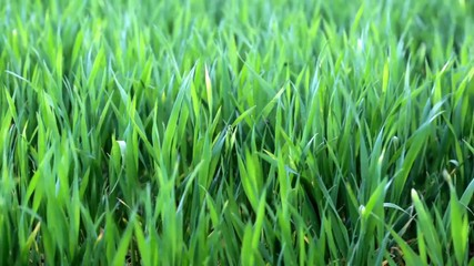 FullHD video of green grass on the field close-up