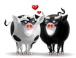 coppia bovini