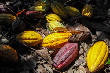 colorful ripe cacao fruits on the ground