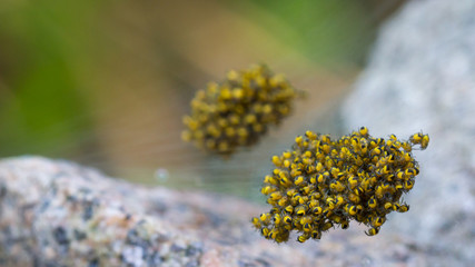 A bunch of baby spiders