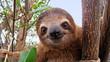 Leinwanddruck Bild - Baby sloth