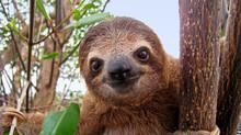 "Постер, картина, фотообои ""Baby sloth"""