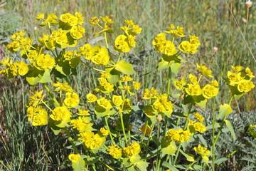 Euphorbia helioscopia. Lechetrezna común.