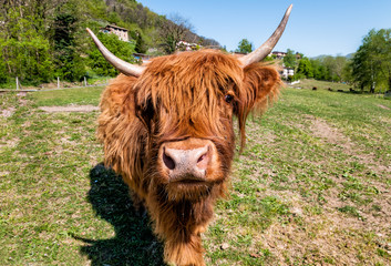 Scottish Highland Cow on the meadow