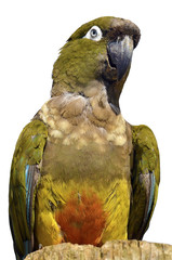 Isolated portrait Burrowing Parrot