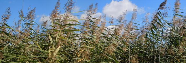Panorama of reeds