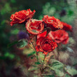 Red roses in vintage style