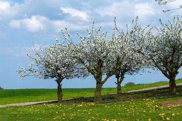 Kirschblüte im Frühling - 1566