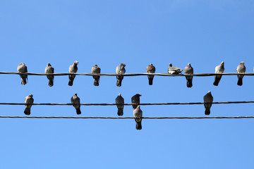 Many pigeons on an electric wires