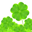 Green clovers isolated on white background