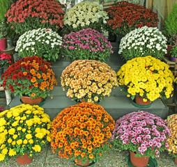 chrysanthèmes en devanture de fleuriste