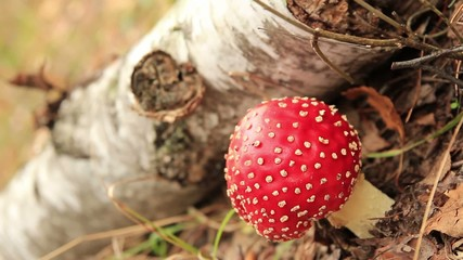 red fly agaric mushroom