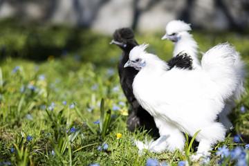 Three chicken ready to start a fight