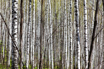 Deciduous birch forest with morning sunlight