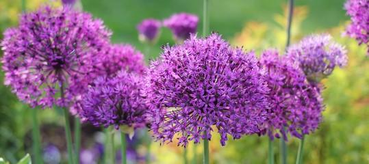 Fleurs d'Allium
