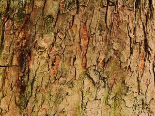 Rinde   eines  Kastanienbaums