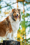 Rough collie standing on the stub - 64682270