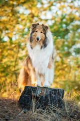 Rough collie standing on the stub