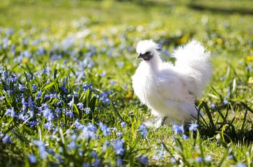 Hen on the sunny backyard
