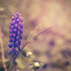 Retro photo of muscari flowers