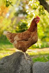 Chicken on Boulder in the Garden