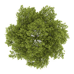 top view of white ash tree isolated on white background